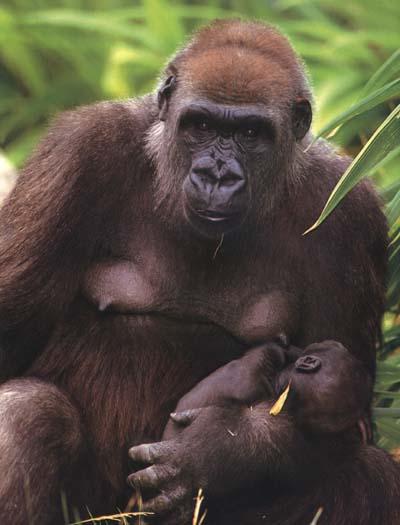 Gorila hembra con cría