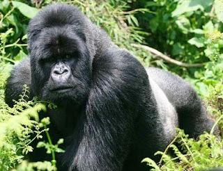 Animal gorila