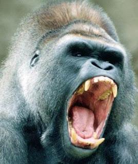 Gorila gruñendo