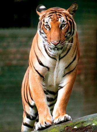 Foto del tigre