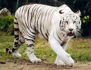 Tigre blanco caminando