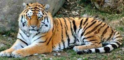Tigre echado