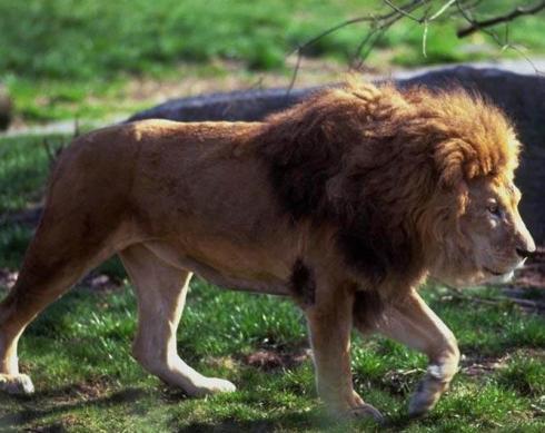 León caminando