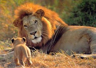 León mirando a su cría bebé caminando
