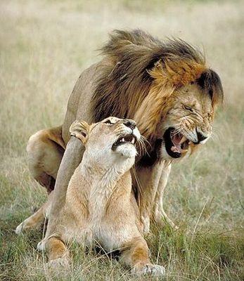 León copulando con leona