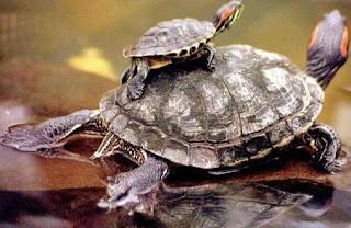 Tortugas acuáticas (madre e hijo)