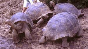 Tortugas enormes o gigantes