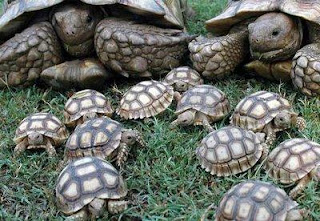 Tortugas con sus crias tortuguitas