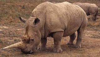 Rinoceronte con lodo seco en el cuerpo