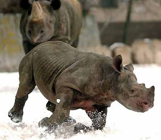 Rinoceronte corriendo sobre la nieve