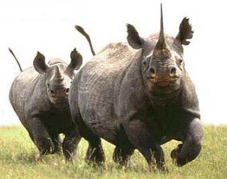 Rinocerontes corriendo