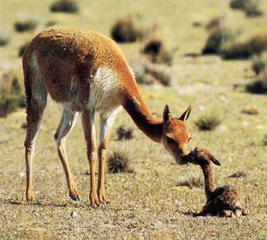 Vicuña con su cría recien nacido