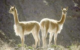 Pareja de vicuñas