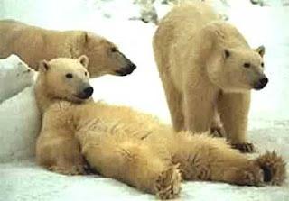 Osos Polares parados y echado