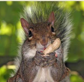 Ardilla comiendo maní