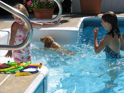 Golden Retriever puppy swimming in pool
