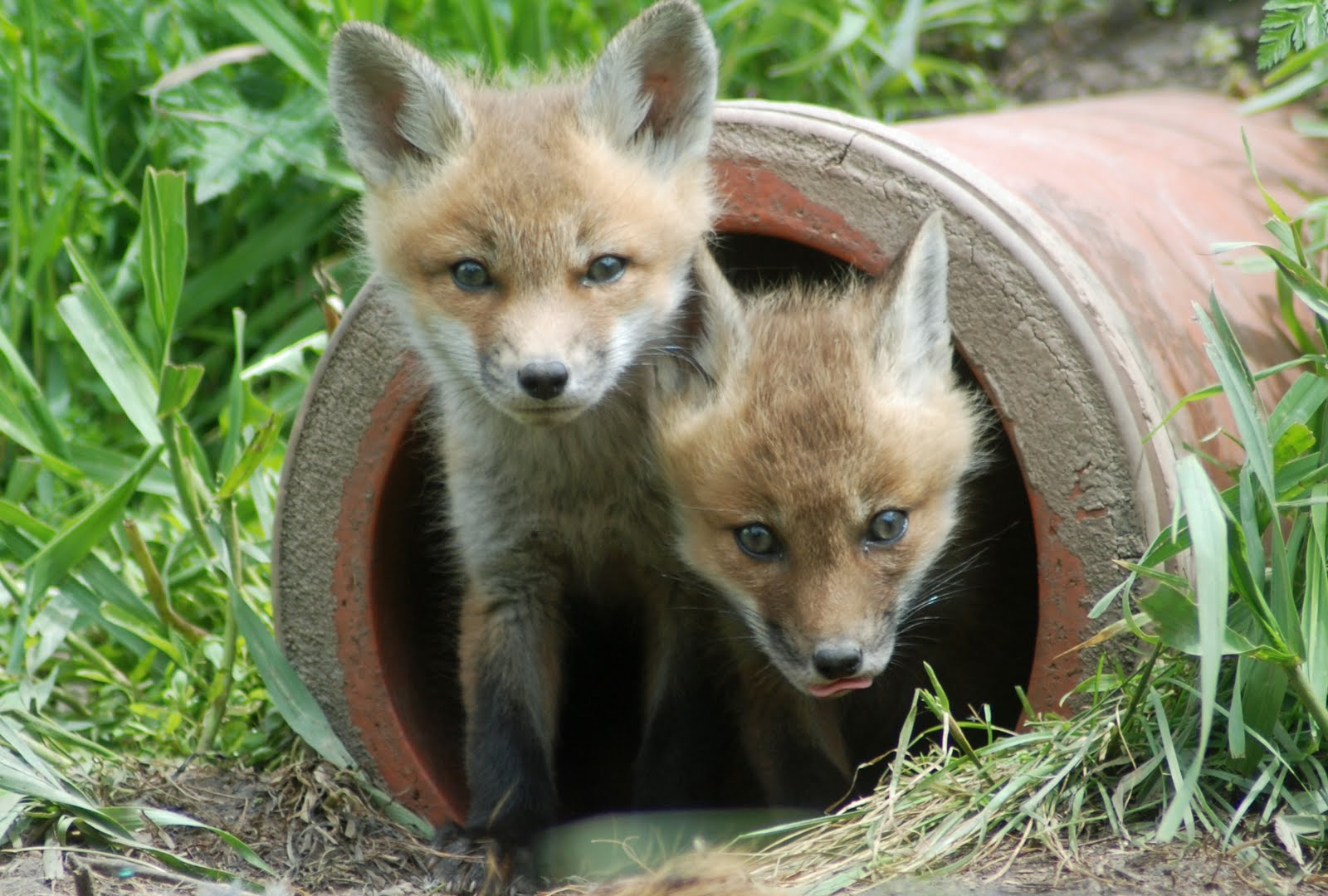 100 foxes in my backyard red fox or gray fox u2013