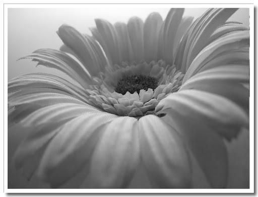 Blomma svartvit 3