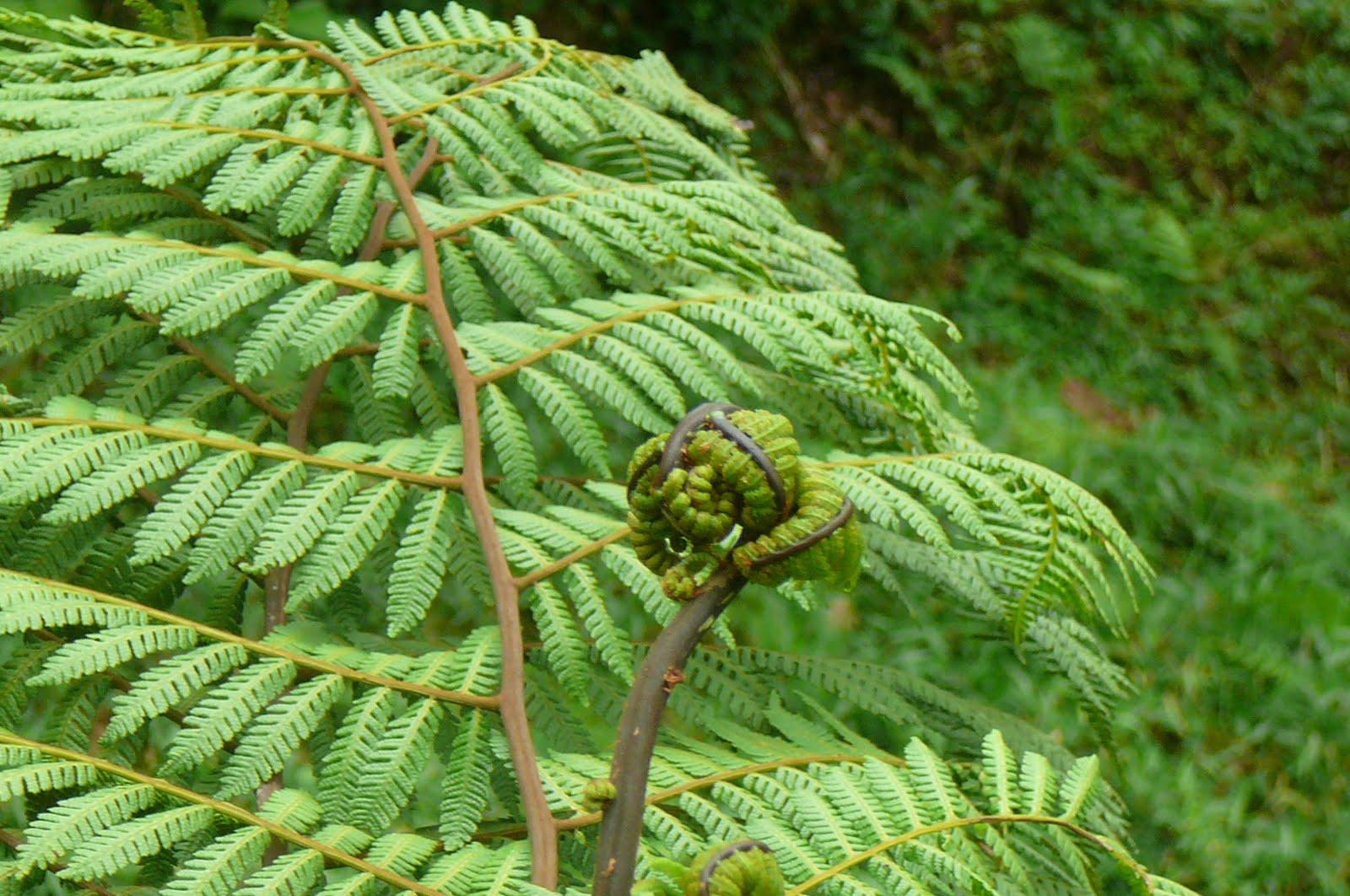 Mis plantas en panam helechos for Plantas ornamentales helechos