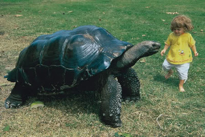 Funny Picture - Giant Tortoise