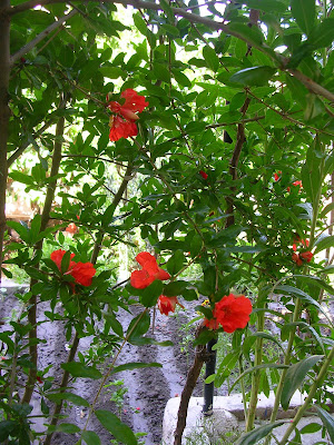 pomegranate trees in bloom