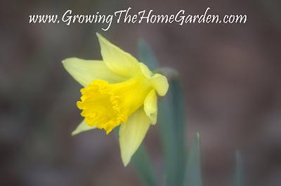 daffodil, flower, yellow, spring bulbs