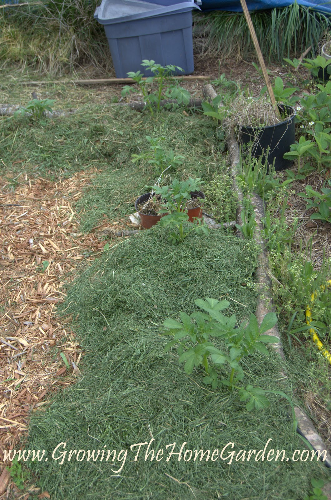 From the vegetable garden potato mounds lettuce leaves for Mounding grass