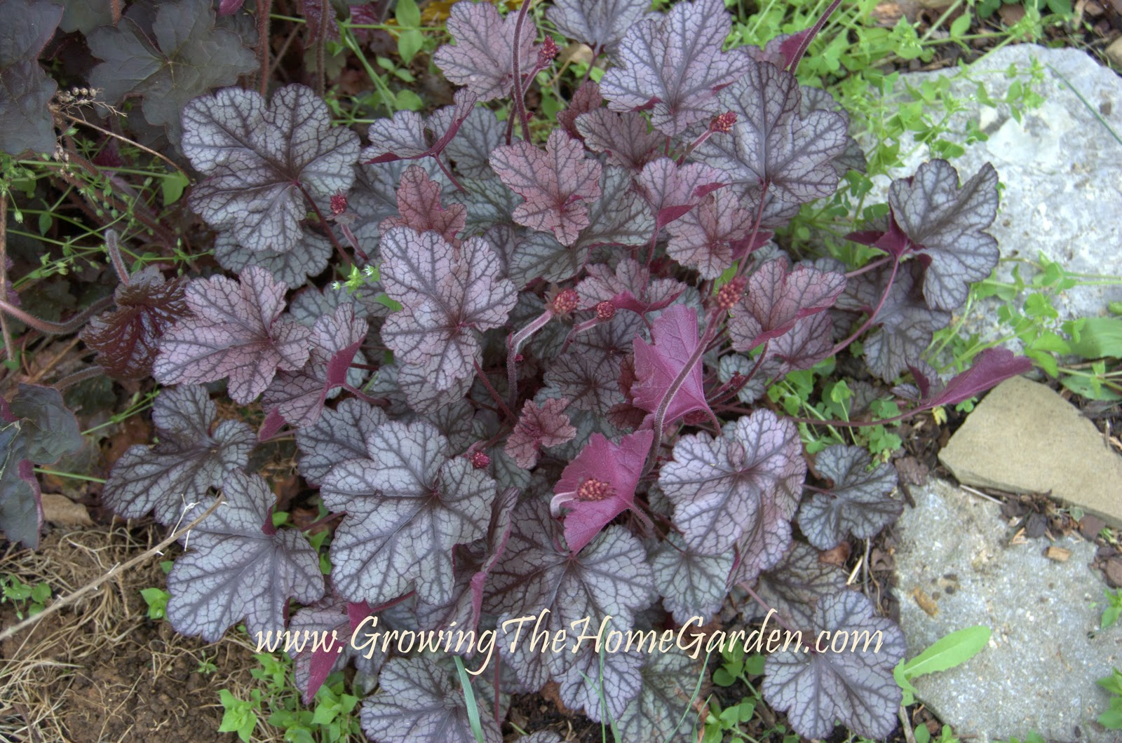 heuchera coral bells from cool plants for the home garden. Black Bedroom Furniture Sets. Home Design Ideas