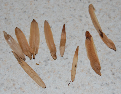 Tree Seeds Identification http://www.growingthehomegarden.com/2008_12_01_archive.html