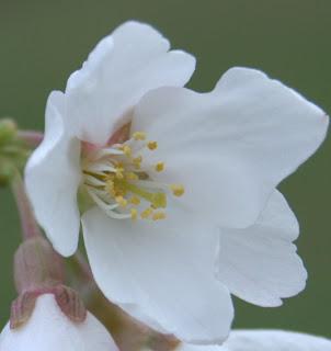 Yoshino cherry flower in spring