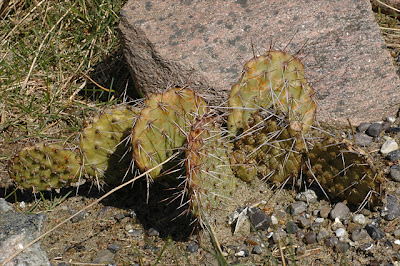 Opuntia tortispina (Albuquerque, New Mexico)