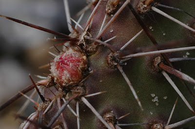 Opuntia hystricina (DJF 1138; Bernalillo County, New Mexico)
