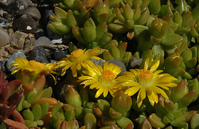 Delosperma nubigenum (Sani Pass, Lesotho), close-up
