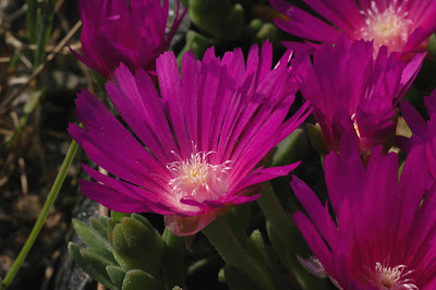 Delosperma 'John Proffit', close-up