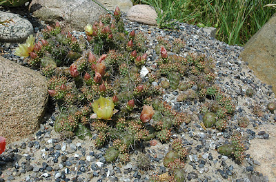 Opuntia fragilis at its new location