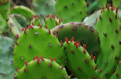 Opuntia compressa (Monmouth Co, NJ), new growth