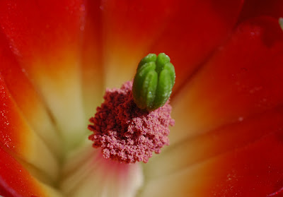 Echinocereus triglochidiatus var. mojavensis flower, close-up