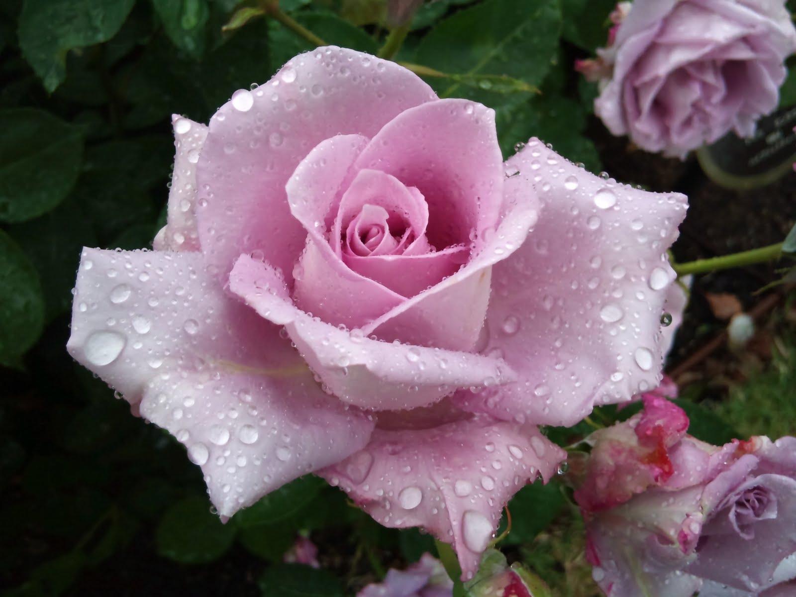 薔薇の画像 p1_36
