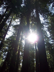 Redwood Sunburst