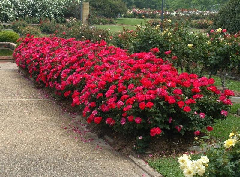 Keller landscape guide top landscape plant choice in north texas - Planting rose shrub step ...