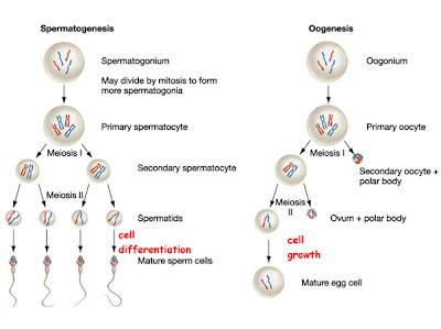 10st dream catatan embrioq samain yu spermatogenesis dan oogenesis ccuart Image collections