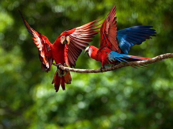 http://4.bp.blogspot.com/_P3gqcL2Brb0/TNoX03FsNWI/AAAAAAAACls/l7mIMxQPo-0/s1600/pair-scarlet-macaws.jpg