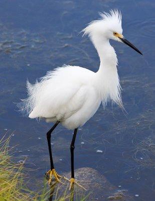SnowEgret2B4 - Snowy Egret ...