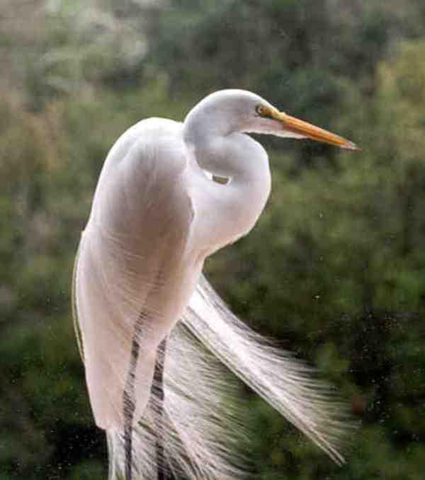 SnowEgret5 - Snowy Egret ...