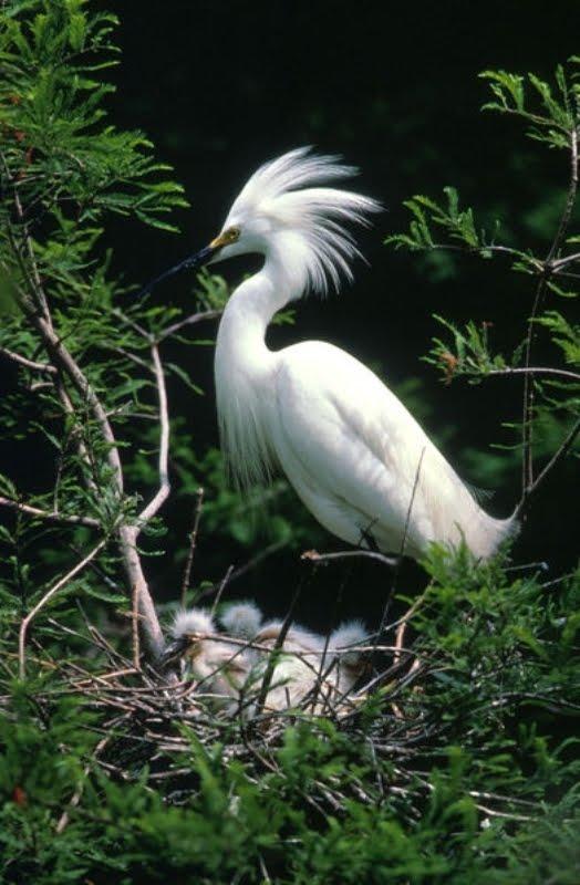 SnowEgret3 - Snowy Egret ...