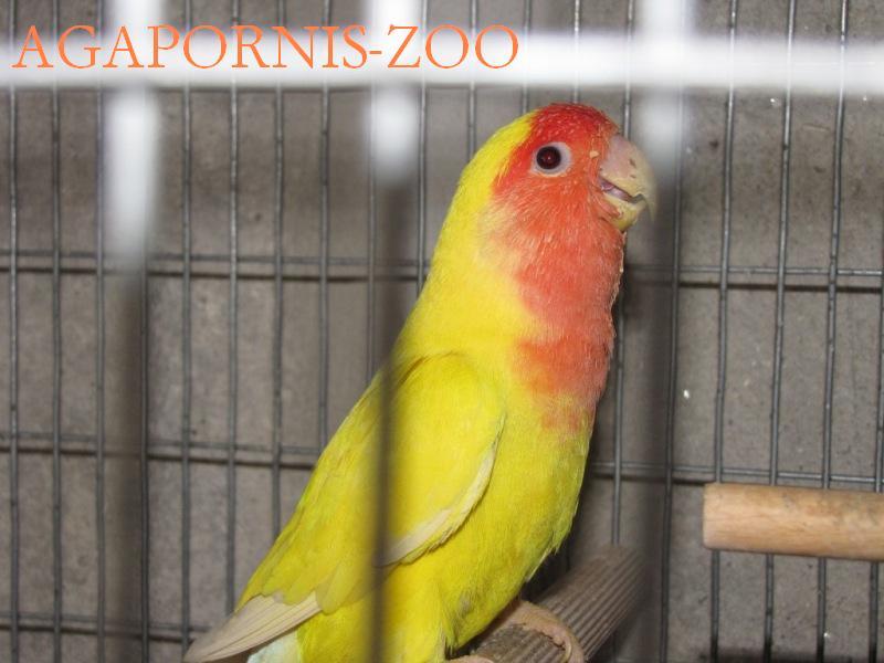 AGAPORNIS-ZOO