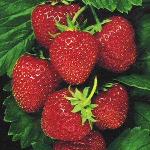buah strawberry