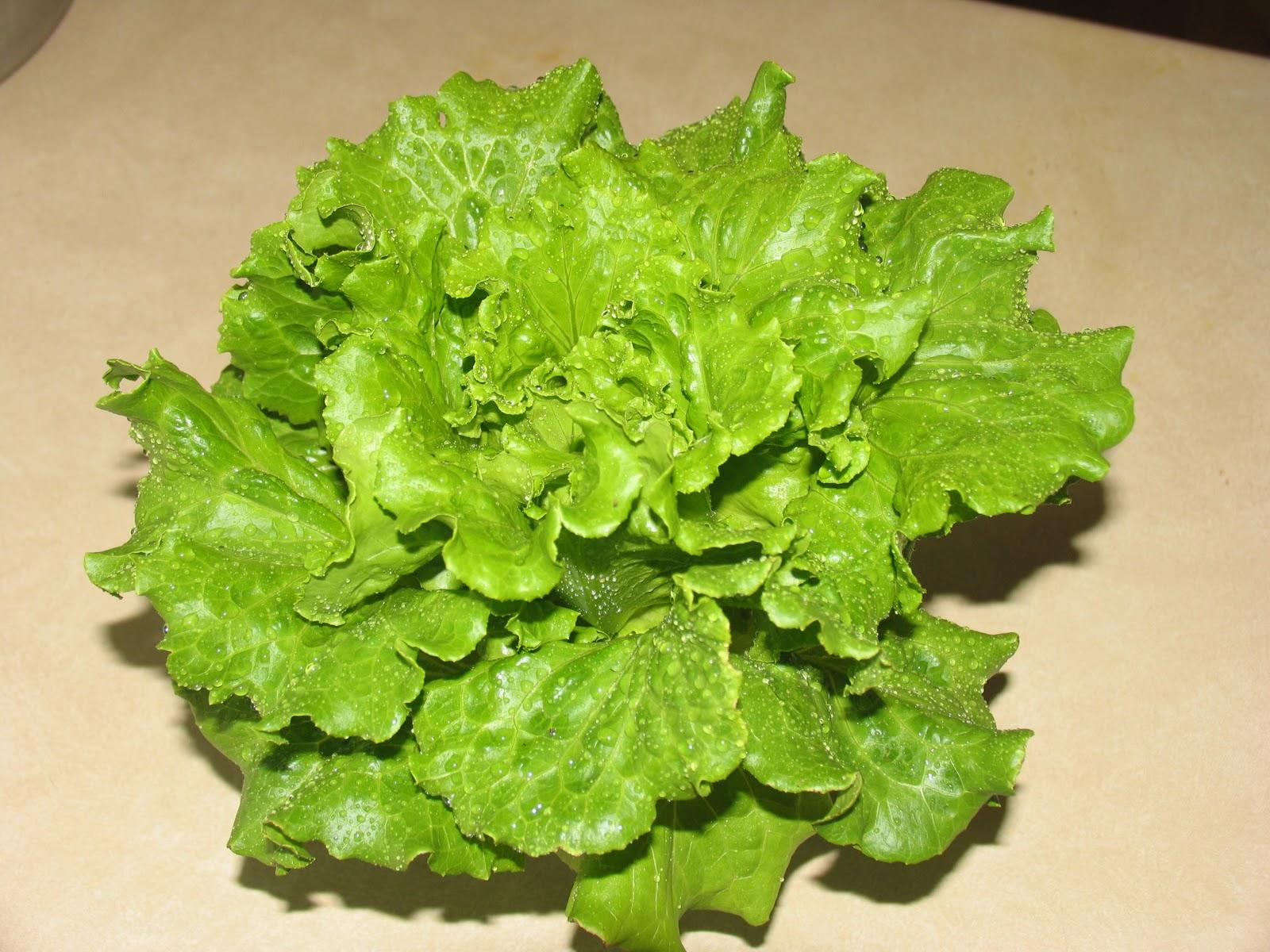 Selada daun longgarLoose Leaf Lettuce