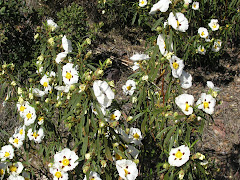Las jaras florecidas en La Mancha.
