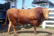Raza de ganado san martinero